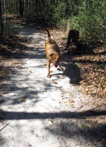 Sniffing deer poop